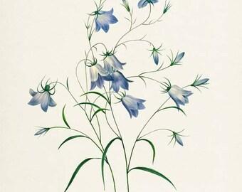 Bellflowers Botanical Print - Flower Art Print - Floral Print - Garden - Redoute Art - Campanula