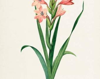 Gladiola Flower Art Print, Botanical Art Print, Flower Wall Art, Flower Print, Floral Print, Redoute Art, pink, green, Gladiolus laccatus