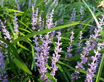 30 Liriope plants - Lily Turf - Monkey Grass - Evergreen Beautiful Perennial