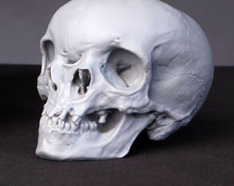 Monocephalus Skull Reconstruction 1:2 Scale