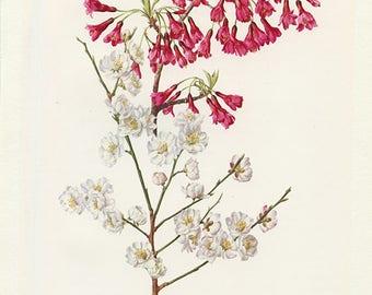 Cerisier et abricotier 1972 vintage Prunus campanulata Art botanique Prunus Mume Cerisier en fleur illustration de fleurs roses