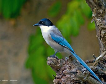Azure-winged Magpie (Crow Family)