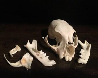 Bobcat Skull Lot