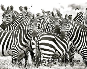 Zebra Herd - Zebra Photography, Zebra Art, Safari Art, Black and White Zebra Art, Zebra Wall Art, Zebra Decor, Wildlife Photography, Nature