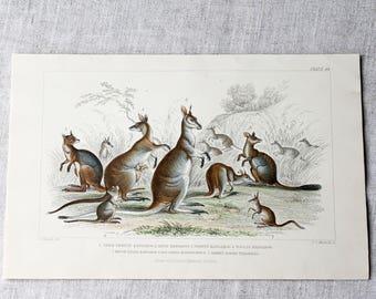 Antique Print of Kangaroos, Hand coloured Engraved Illustration, Fine Art Print, Original Prints, Antique Art