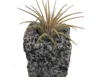 "Granite Vase with Living Air Plant - Speckled - 2"" x 2"" x 2.5"""