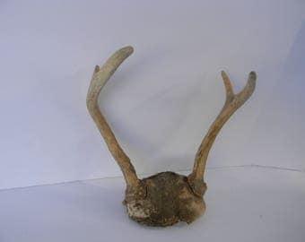 Vintage 4 Point Real Whitetail Deer Antlers with Partial Skull Cap - DIY Deer Antler Supply ~ Rustic Deer Antler Decor