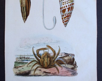1839: Mitridae or Mitre Shells and Mithrax Crab. Engraving. Antique Hand-colored Print, Guerin. Original.