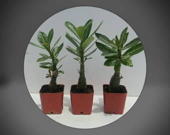 Desert rose plants, Three adenium succulents, with fat well rooted caudex,  grown from fresh harvested seed, creates red white pink