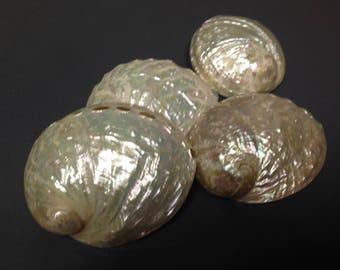 Abalone Assimilis  (Pearled) Shell  (EA)