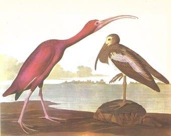Scarlet Ibis Audubon print - framable print -  for beach decor, bird print, swamp creatures, retro aviary