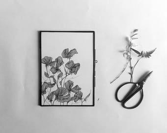 Sweet pea - white China - pseudo-petiole - flower - Indian frame - pafumee Illustration original ink drawing