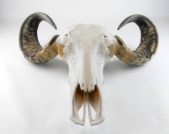 Real Buffalo-Bison Skull Cow Horns Western Home wall decor Hanging wall, Taxidermy. Shipping Not included)