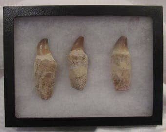 Awesome fossil dinosaur tooth display - mosasaur - 100m-65m years old!