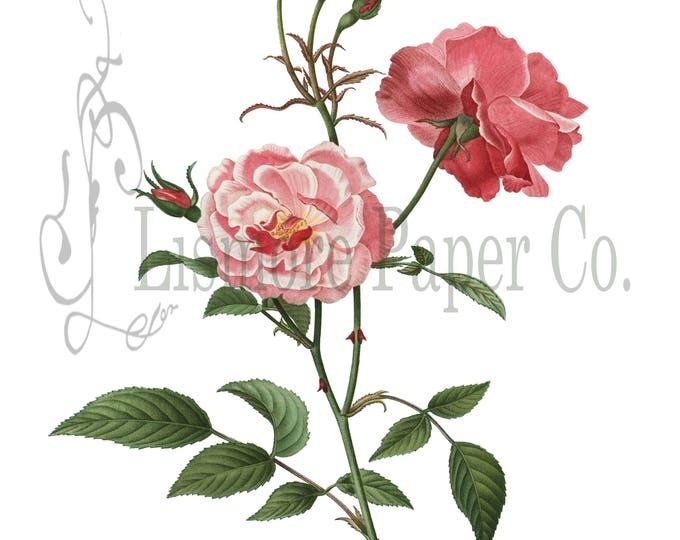 Bengel Rose Print, Rose Illustration, Botanical Decor, Flower Decor, Digital Art, Printable Art, Instant Download, Architecture Decor, Craft