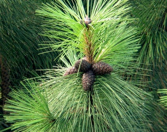 100 Pinus kesiya. Pinus khasya, Pinus insularis