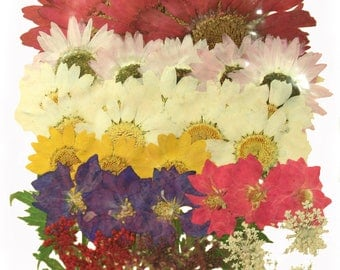 Pressed flowers mixed pack, large Chrysanthemum, marguerite, daisy, larkspur, lace flowers
