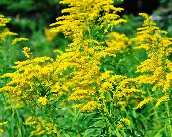 Canada Golden Rod beautiful perennial 10 starts one low price  free USA Ship