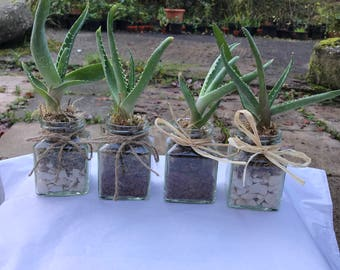 Aloe barbadensis plant gift / favour in square glass jar