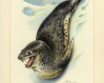 Vintage lithograph of the leopard seal from 1956