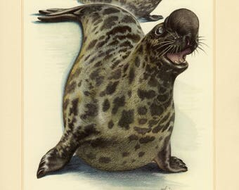 Vintage lithograph of the hooded seal from 1956