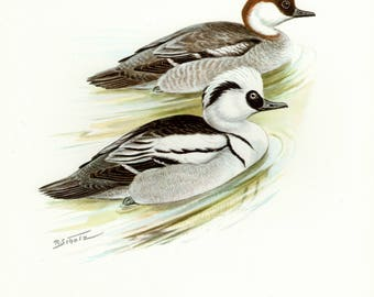 Vintage lithograph of the smew from 1956