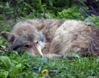 Sleeping Wolf Poster Version 4