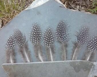 7 Guinea Fowl Feathers