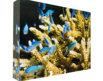 Blue green Damselfish on coral Great Barrier Reef 30x20x4cm Acrylic Photography Print