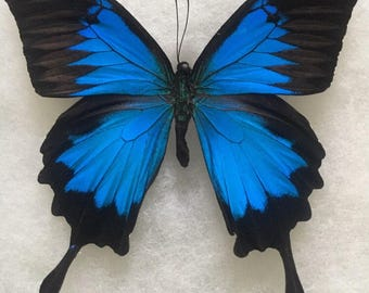 Framed Papilio Ulysses Butterfly