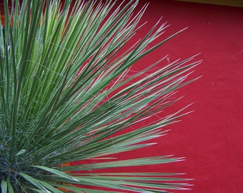 Seeds - Yucca elata, Soap Tree Yucca, 'Silver City' Selection