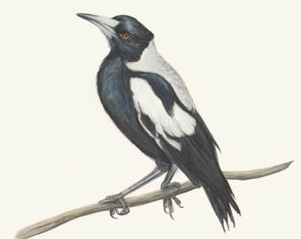 Magpie - Digital Download/ Magpie Australian Bird Wildlife Art / Drawing of a magpie / Bird art/ nursery art/ australian art/ magpie print