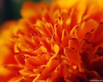 Marigold Sun // Photography // Flower // Nature // Wall Art