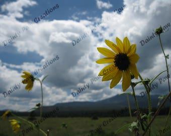 Sunflower Sky Photograph