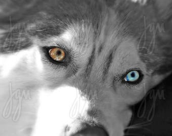 20X30 Photographic Enlargement - Siberian Husky Eye Colors