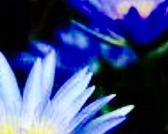 Blue Lotus Flowers ~ An Anthology