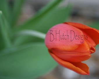 Red Tulip Flower Close UP Macro Photography Print Digital Download