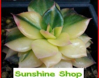 Rare Succulents Seeds Orostachys.Iwarenge, Cactus Seeds, Rare Flower Cactus, 100PCS Bonsai flower