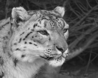 Snow Leopard Watching black white photo print digital download 5x7