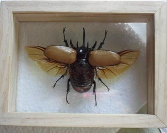 Real 5 Horned Gracilicornis Beetle Insect Taxidermy Double Glass in Frame /HO18