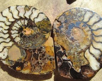 fossil ammonites from arizona