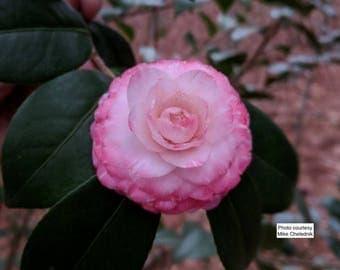 Camellia japonica 'Grace Albritton'