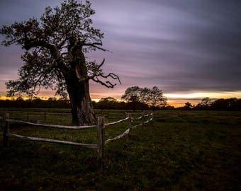 Oak Tree at Sunset in Bushy Park, Teddington, UK, Landscape Photographic Print.