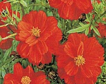 Cosmos- Sulphureus- Red- 100 Seeds