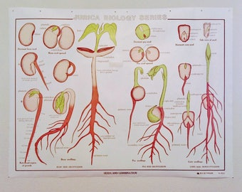 Seeds and Germination  Classroom Teaching Chart