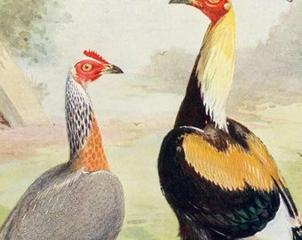 1902 Antique Color Print of Duckwing Game Chickens