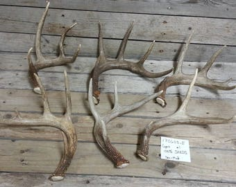 Bulk Lot of 6 Small and Medium Shed Whitetail Deer Antlers- Lot No. 170603-E