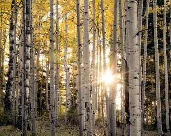 Aspen Trees, fall tree art, Colorado art, sunstar, rustic wall art, cabin decor, yellow gold leaves photo, aspen tree art, fall photo