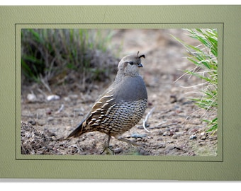 Quail Cards - California Valley Quail Card - Blank Inside - Quail Note Cards - Quail Notecards - Custom Bird Cards - Quail Gifts