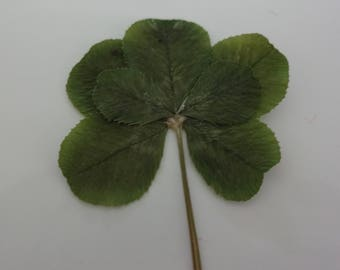 Genuine Rare Real Natural Seven Leaf Clover Unique Unusual 7 Year Anniversary Gift Christmas